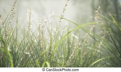 Grass flower field with soft sunlight for background.