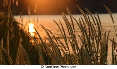 grass flowering blowing from wind in sunset at Wang Bon...