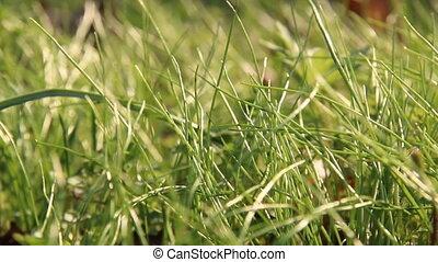 Grass. Fresh green spring grass.