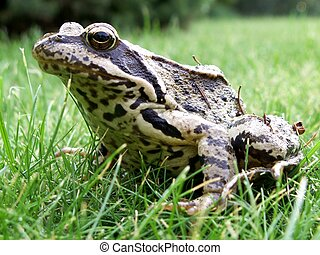 Grass frog-Rana temporaria - Grass frog head - Rana...