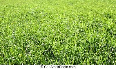 Grass - Green grass meadow