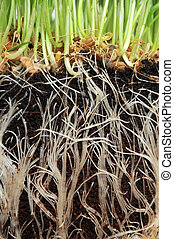 Grass growing from Roots - A macro closeup of wheat grass...
