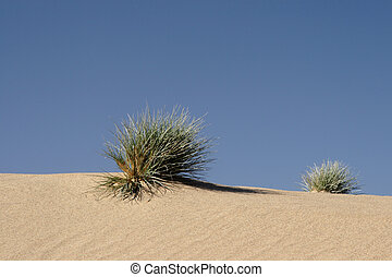 Grass growing on a sand dune in the Namib Desert, Namibia