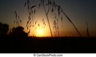 grass in a field at sunset