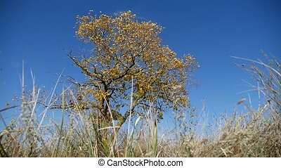 grass in a field in the background lonely tree in the autumn on a background of blue sky nature