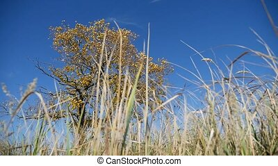 grass in field in the background lonely tree in the autumn on a background of blue sky nature