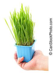 Grass in flowerpot with human hand