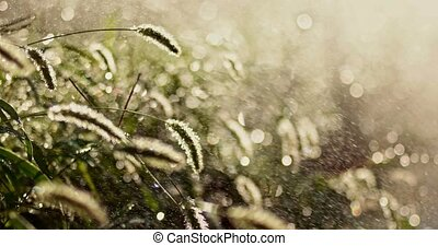 Grass in rain backlit in sunset time
