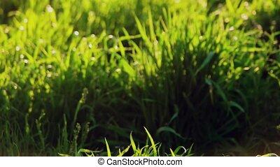 Grass in spring backlit. Field of wild grass closeup...