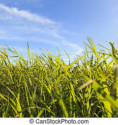 Grass in the countryside with blue sky