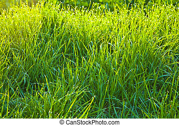 grass in the morning with dew