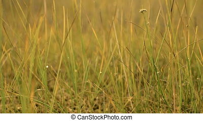 Grass in the national swamp reserve. Autumn daytime. Smooth dolly shot