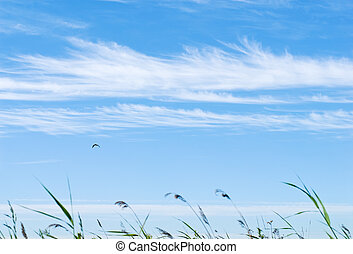 Grass in the wind at the blue sky with cloud lines