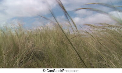 Grass in the wind - The grass flutters in the wind in the...