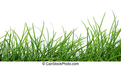 Grass isolated on white