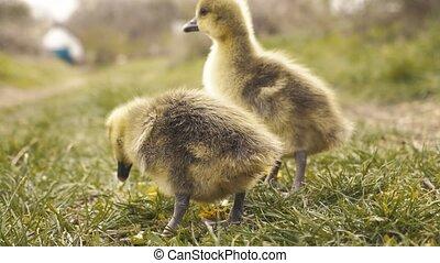 grass., mignon, gosling's, pré, reposer