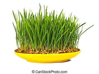 Grass of wheat grown in yellow plate. Isolated over white