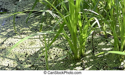 Grass on a small pond in the woods