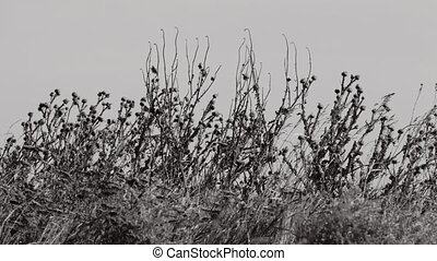 Grass on blue sky background. - Dry grass swaying in the...