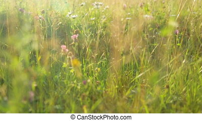 Grass on meadow at sunset