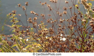 Grass on the background of the pond - Golden grass sways...