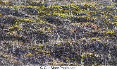 Grass on the steppe field. Video. Stipa grow on a...