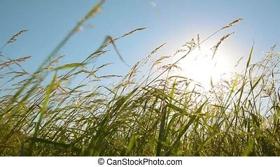 Grass on the wind at sunset