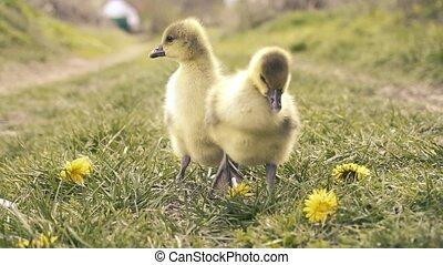 grass., reizend, gosling's, wiese, basierend
