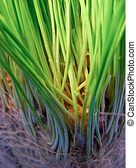 Grass Roots - Macro photo of grass and roots - can be used...