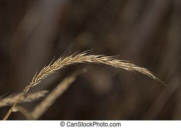 Grass seed head closeup