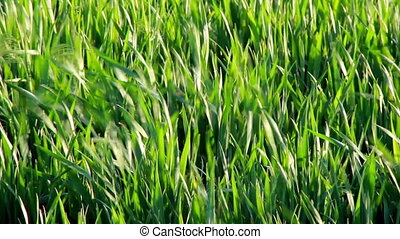 Grass shaking - Grass blades shaking on wind