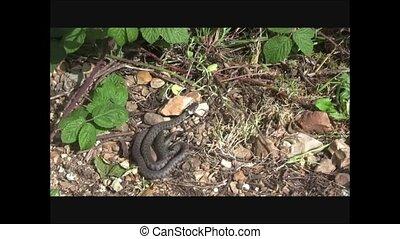 Grass snake. - British grass snake slithering in a woodland...