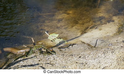 Grass Snake Crawling in the River. Slow Motion