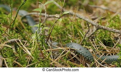 Grass Snake crawls in vibrant green grass in the forest, autumn daylight.