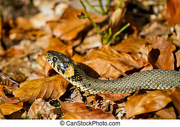Grass snake in the autumn leaves