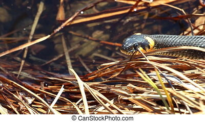 Grass snake in the wild. Grass snake sticks out its tongue...