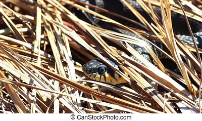 Grass snake in the wild. The face and eyes of an grass snake...