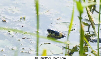 The head of a non-poisonous snake in the water - Grass snake...