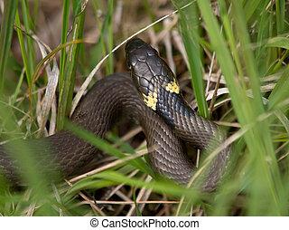 Grass snake lying in the grass