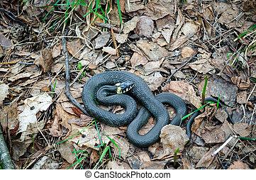 Grass snake natrix.