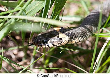 grass snake Natrix natrix in the grass