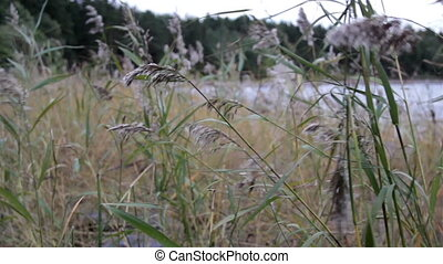 Grass stalks swayed by the wind and the sound of the water