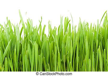 Grass - Fresh green grass on white background