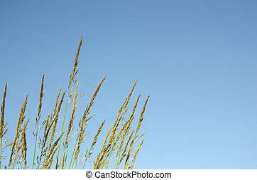 Grass straws at blue sky
