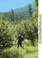 Grass trimming in orchard - Man working in cherry orchard...