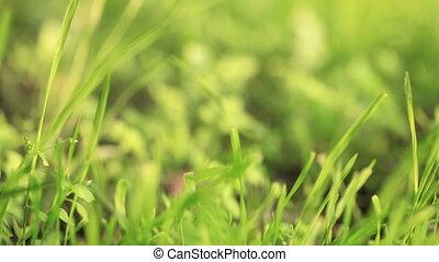 grass., vert