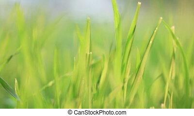 grass., vert, wind.