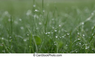 Grass with dew drops. Blurred foots, Background With Water Drops background