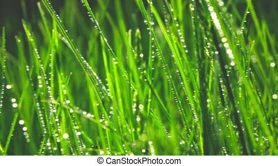 Grass with dew drops, slow motion - Grass Background With...