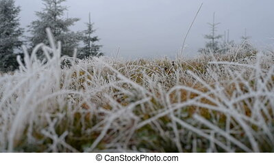 Grass with frost - Grass covered with frost, wind shaken....